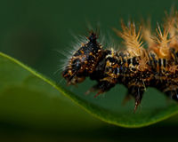 för caterpillarkomma för album c polygonia Arkivbilder