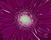 För cerberablomma för aubergine lila closeup mutter för makro för bakgrundsfilberthasselnöt royaltyfria bilder