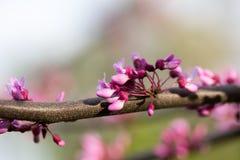 För Cerciseuropé-, eller europé Tsertsis eller judasträd (latCercis Arkivfoto