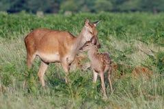 För Cervuselaphus för röda hjortar barnet behandla som ett barn kalven med modern Royaltyfri Fotografi