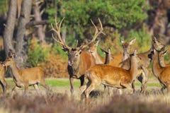 För cervuselaphus för röda hjortar att jaga för fullvuxen hankronhjort gör under brunstig säsong arkivfoton