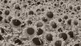 för chiantifält för backgroun härlig för san för gimignano town tuscany solrosor arkivfilmer