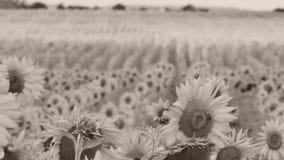 för chiantifält för backgroun härlig för san för gimignano town tuscany solrosor stock video