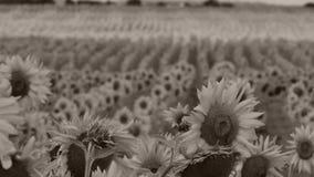 för chiantifält för backgroun härlig för san för gimignano town tuscany solrosor lager videofilmer
