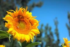 för chiantifält för backgroun härlig för san för gimignano town tuscany solrosor Royaltyfria Bilder