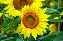 för chiantifält för backgroun härlig för san för gimignano town tuscany solrosor Royaltyfri Bild