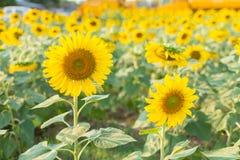 för chiantifält för backgroun härlig för san för gimignano town tuscany solrosor Arkivfoton