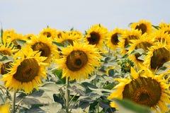 för chiantifält för backgroun härlig för san för gimignano town tuscany solrosor Fotografering för Bildbyråer