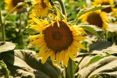för chiantifält för backgroun härlig för san för gimignano town tuscany solrosor Arkivbilder