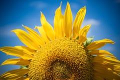 för chiantifält för backgroun härlig för san för gimignano town tuscany solrosor blå ljus sky Royaltyfria Bilder