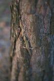 för chlamydosauruskingii för bakgrund svart tree för ödla fotografering för bildbyråer