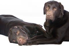 för choklad labradors liggande två ner Royaltyfria Foton