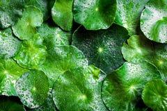 För cirkelgräsplan för slut övre garnering för blad med vattenregndroppe som ab fotografering för bildbyråer