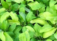 För citronlimefrukt för Philodendron grön modell Royaltyfria Bilder