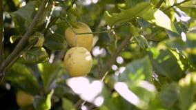 för citronreproduktion för bok botanisk tappning för tree stock video