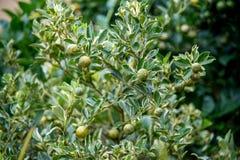 för citronreproduktion för bok botanisk tappning för tree fotografering för bildbyråer
