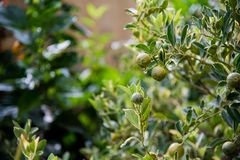 för citronreproduktion för bok botanisk tappning för tree royaltyfri foto