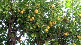 för citronreproduktion för bok botanisk tappning för tree arkivfilmer