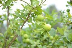 för citronreproduktion för bok botanisk tappning för tree Arkivfoto
