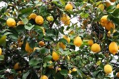 för citronreproduktion för bok botanisk tappning för tree Arkivbilder