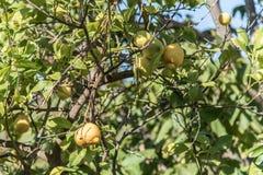 för citronreproduktion för bok botanisk tappning för tree Arkivbild