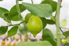 för citronreproduktion för bok botanisk tappning för tree Royaltyfri Fotografi