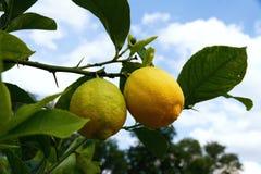 för citronreproduktion för bok botanisk tappning för tree Arkivfoton