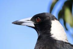 För closeupheadshot för australisk skata profil Royaltyfri Bild