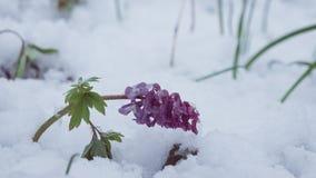 För Corydalis som blommor först täckas med oväntad snö på en förkylning och en molnig vårmorgon Royaltyfria Bilder