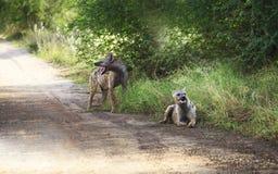 För Crocutacrocuta för prickiga hyenor anseende bland gräs, södra A Arkivfoto