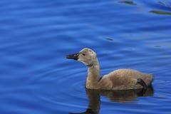 för cygnetcygnus för atratus svart swan Arkivbilder