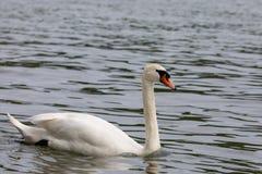 För Cygnusolor för stum svan simning i blått vatten med reflexion royaltyfria bilder