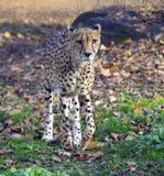 För däggdjurleopard för gepard Afrika för rovdjurs- kattdjur för familj mellersta östlig prickig snabb aerodynamik arkivbild