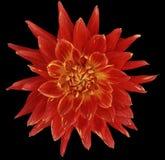 För dahlia röd blomma ljust, svart bakgrund som isoleras med den snabba banan closeup med inga skuggor Utmärkt prickig spetsig fl Arkivfoto