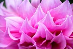 För dahliablomma för närbild blom- rosa bakgrund för textur för abstrakt begrepp Arkivbilder