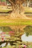 för dammreflexion för lilja gammal thailand tree Arkivbild
