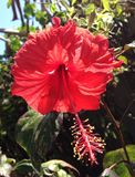 För den rosa för den Chaba blommahibiskusen bungaen för kinesisk hawaiansk vintergrön buske för flora för si sinuset Rays den röd Royaltyfri Foto