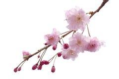 För den sakura för full blom trädet blomman isolerade den körsbärsröda blomningen Fotografering för Bildbyråer