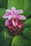 För den siam för closeupen färgar härliga rosa färger för blomma tulpan på parkera Outd Arkivfoto