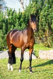 För den welsh för den mörka fjärden som sörjer den sportive hingsten ponnyn poserar mot, träd arkivfoto