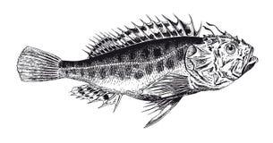 För detaljScorpionfish för vektor hög gravyr royaltyfri illustrationer