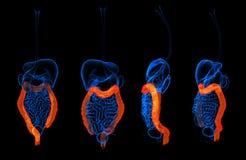 för digestivkexsystem för tolkning 3d mänsklig stor inälva Arkivbild