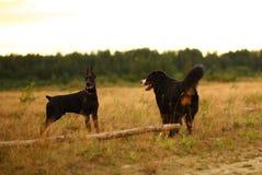 För doberman- och för Bernese berg hund för två hundkapplöpning anseende på gul äng i solnedgång royaltyfria bilder