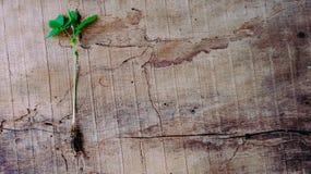 För dra en groende ut behandla som ett barn växter Royaltyfri Bild