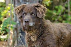 För Duck Tolling Retriever för fluffig choklad hund blandad avel Royaltyfri Foto