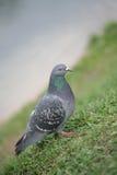 för duvagrey för fågel blå town royaltyfria foton