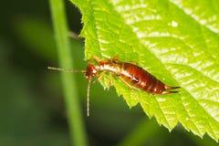 för earwigforficulaen för au sitter den bruna leafen för green royaltyfri bild