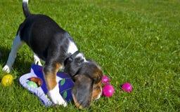 för easter för beagle gullig valp ägg Arkivbilder