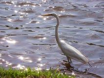 för egret white utmärkt Arkivfoton