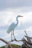 för egret white utmärkt Royaltyfri Bild